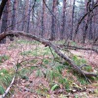Дерево из семейства змеиных ( в старости ). :: Мила Бовкун