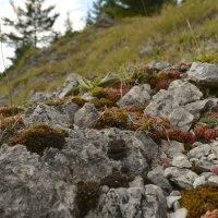 альпийская горка :: Dorosia
