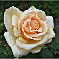 роза :: Надежда