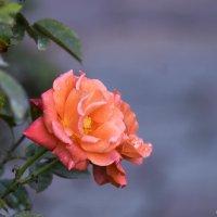Роза в день седьмого ноября :: Александр Деревяшкин