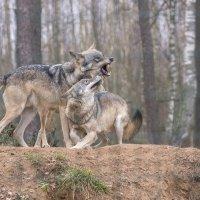 Волки :: Борис Гольдберг