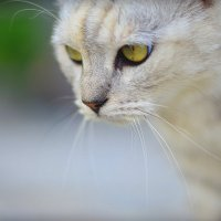Кошачий взгляд :: Юлия
