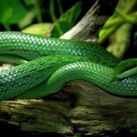 Остроносая змея :: Alexander Andronik