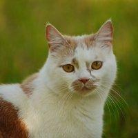 Почти белый... Почти тигр) :: Maks :))
