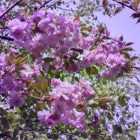 Вишня в цвету. Японский садик. Краснодар :: Алёна Чалова