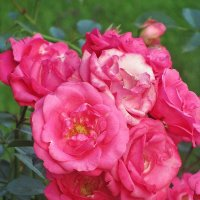 Розовый сад. :: Ирина