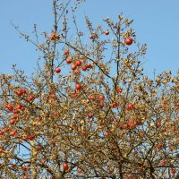 Осінні яблука :: Юрій Федчак