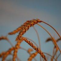 пшеница :: Алекс