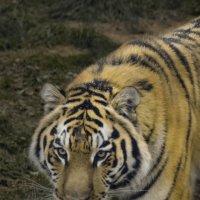 Крадущийся тигр :: Денис Белов