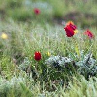 Калмыцкие тюльпаны :: erdny stoyanov