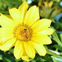 Пчела на цветке :: Елена Нор