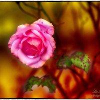 Болгарская роза :: Leo Alex Photographer