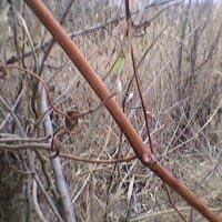 Виноградная лоза :: Миша Любчик