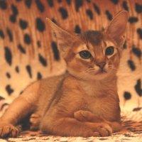 Маленькая абиссинская кошечка :: Наташа Шамаева