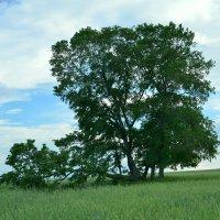 Дерево :: Сергей Воронков