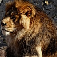 Старый лев... :: Владимир Бровко