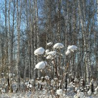 И распустились  снежные цветы. :: nadyasilyuk Вознюк