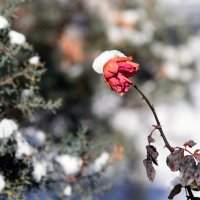 Зимняя роза :: Григорий Карамянц