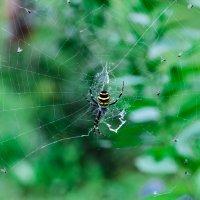 жизнь паука :: Юлия Ковалевская