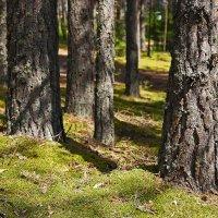 Сосновый лес :: Наталья