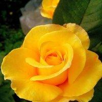 Роза :: Николай П.