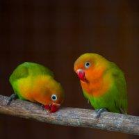 Попугаи :: Диана Матисоне