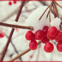 калина красная :: Tatyana Belova
