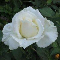 белая роза :: фотоГРАФ Е.Буткеева .
