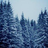 еловый лес :: Anastasiya Shvezcova