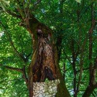 250 летняя липа.Сухуми. Ботанический сад :: Андрей Гриничев