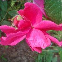 Как крылья бабочки, раскинув лепестки, трепетала роза... :: Нина Корешкова