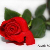 Роза :: Марина Алгаева