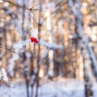 Ягоды в снегу... :: Константин Молдыбаев