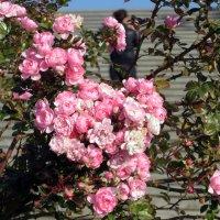 Розовые розы. :: Наталья Джикидзе (Берёзина)