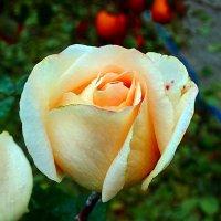 роза :: Юрий Владимирович
