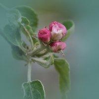 яблоня цветёт.. :: Ольга Cоломатина