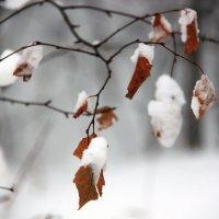 Не успела сбросить листья :: Марина Алгаева