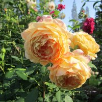 роза Golden Celebration :: lenrouz