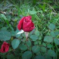Роза :: Юлия Наимова
