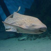 tiburón :: Vitalet