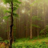 Буковый лес :: Александр Демченко