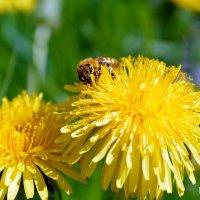 Пчелка :: Юлия Шитик