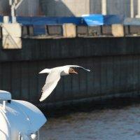 Чайки за кормой верны кораблю... :: leoligra