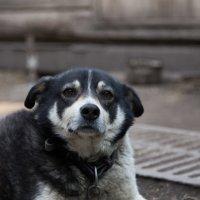 Пёс Шарик :: андрей Язовских