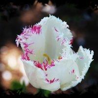 Необычный Махровый Тюльпан :: Damir Si