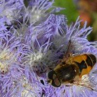 Пчелка :: Вера Андреева