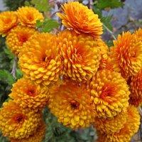 отцветают последние хризантемы... :: Александр Корчемный