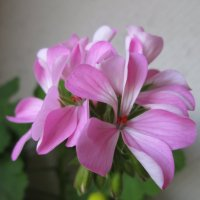 Розовая герань :: Самохвалова Зинаида