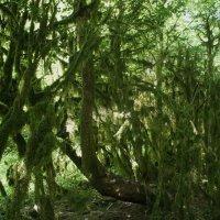 Сказочный самшитовый лес :: Елена Павлова (Смолова)