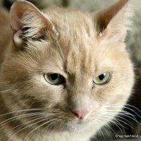 Домашний котяра:Варяг(Варя) :: Олег Лукьянов